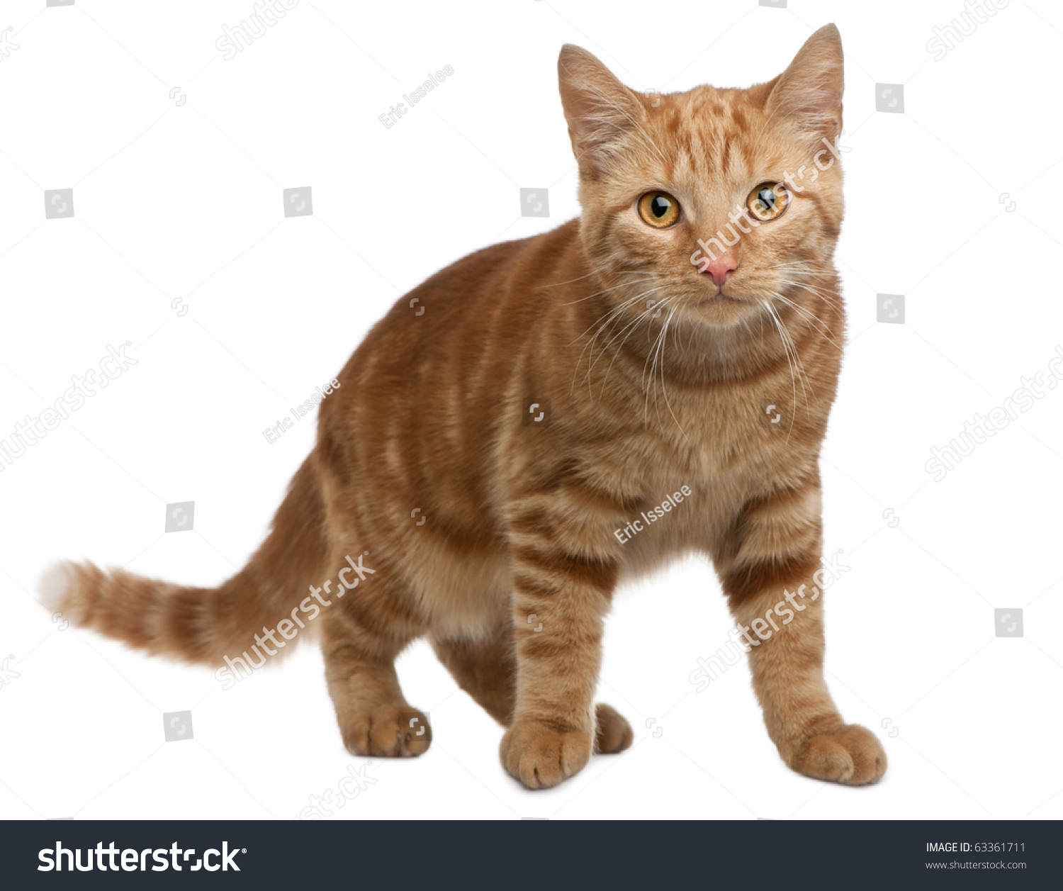 Ginger Mixed Breed Cat 6 Months Stock Shutterstock