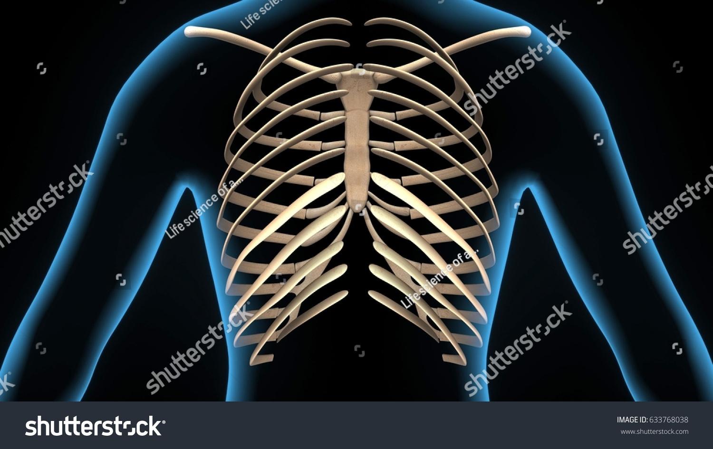 3d Illustration Human Body Ribs Cage Anatomy Ez Canvas