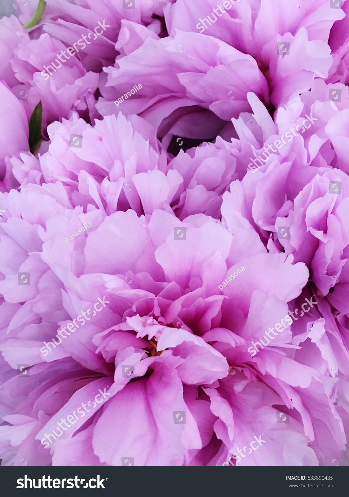 pink peony background rustic peony wallpaper stock photo (edit now