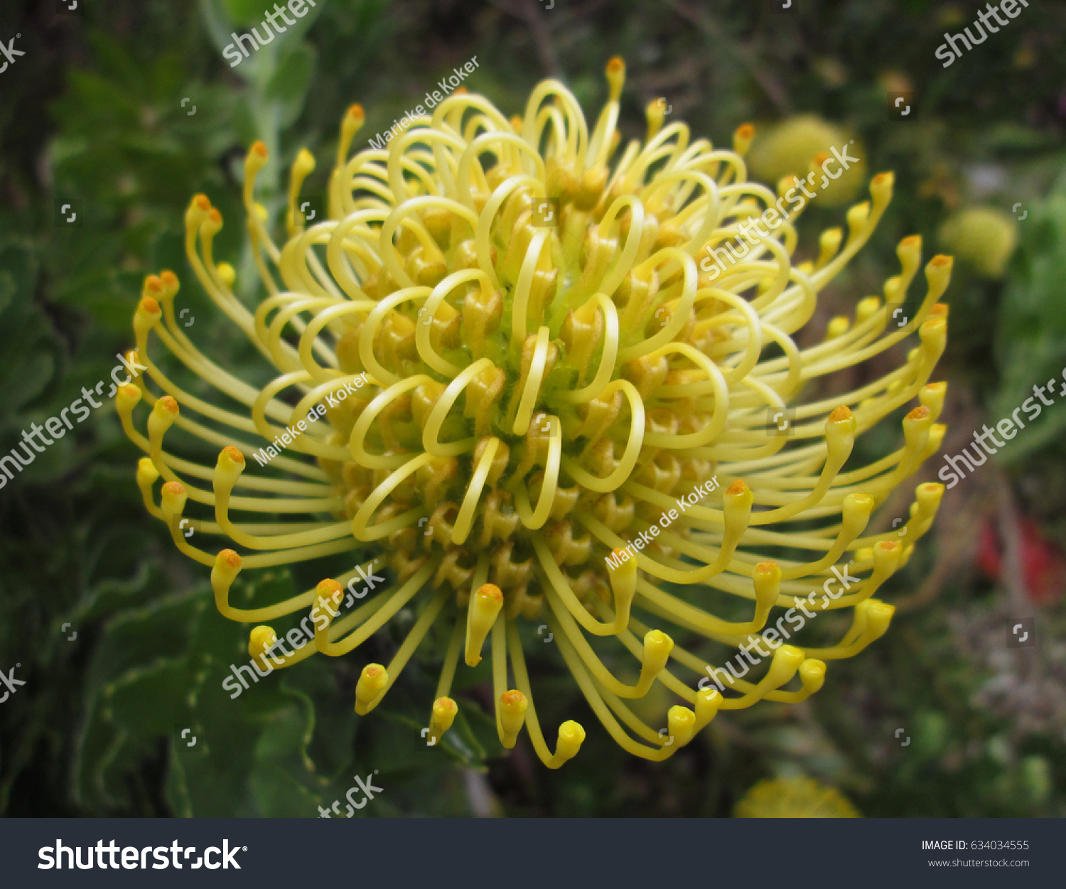 bright yellow pincushion protea south african stock photo edit now