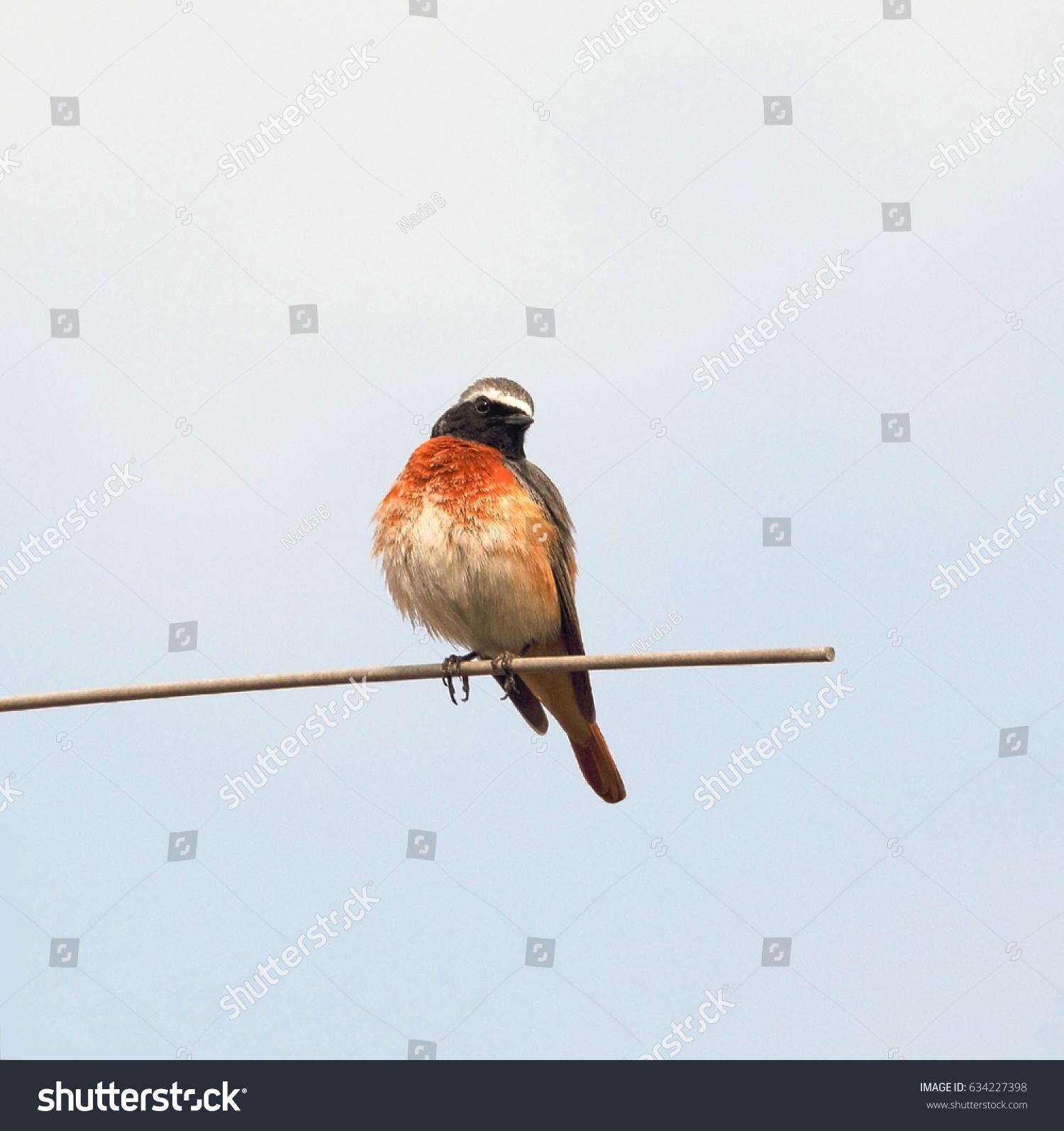 stock-photo-beautiful-nightingale-bird-b