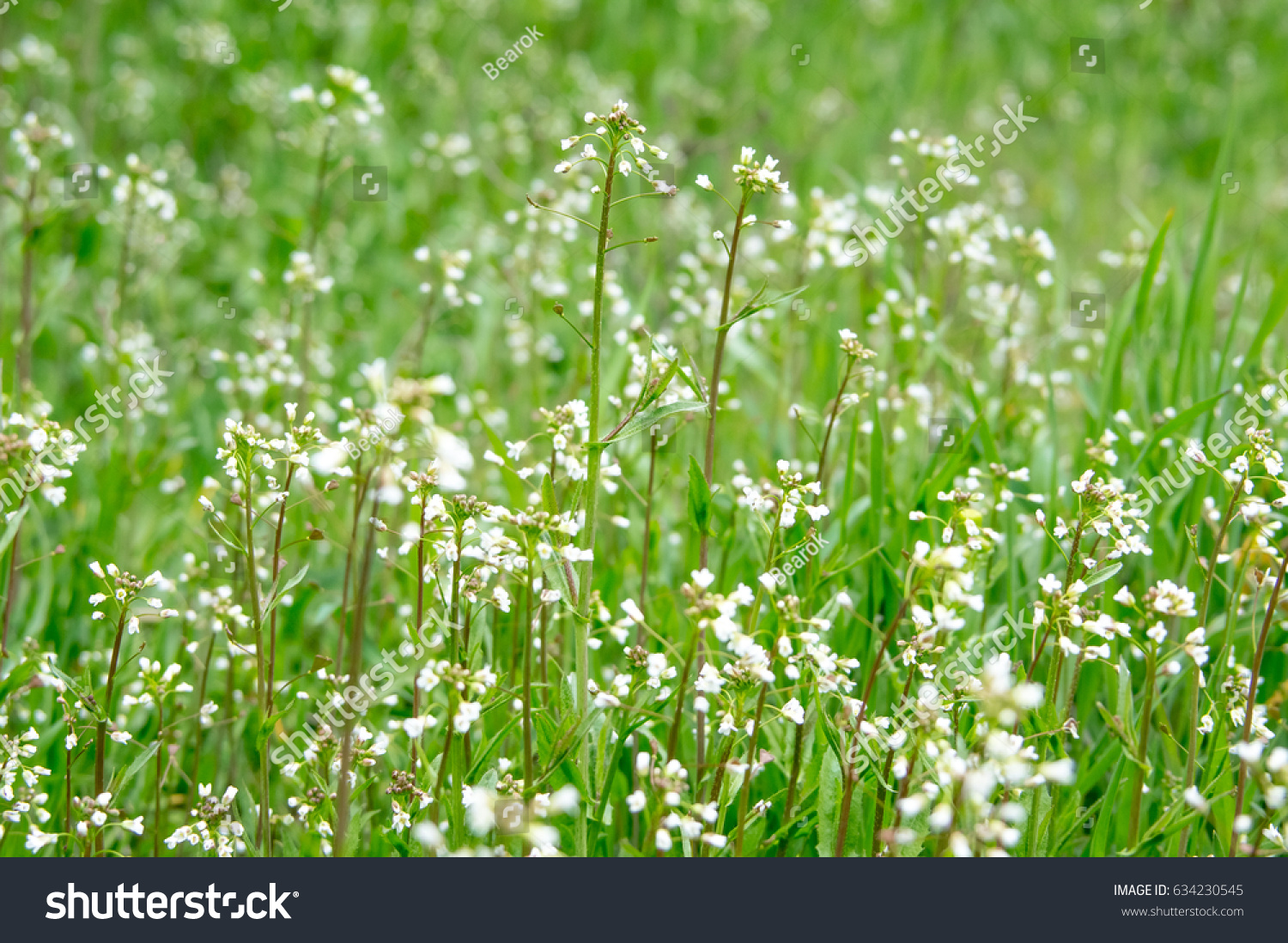 White Flowers In The Grass Ez Canvas