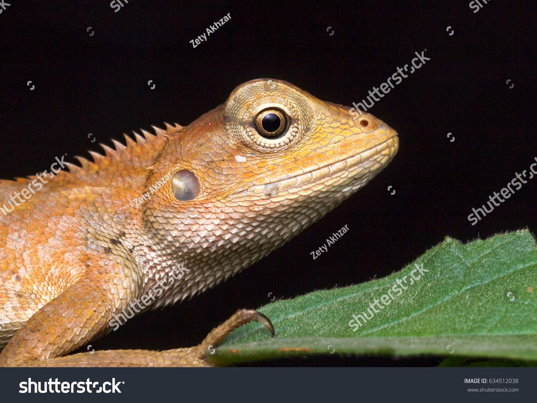 closeup oriental garden lizard calotes versicolor stock