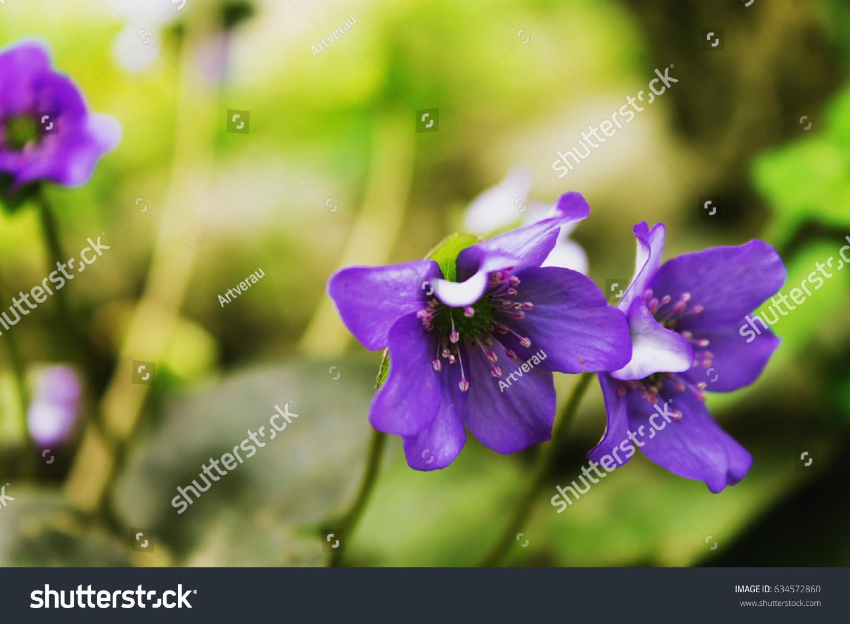 Two Spring Small Purple Flowers Closeup Stock Photo 634572860
