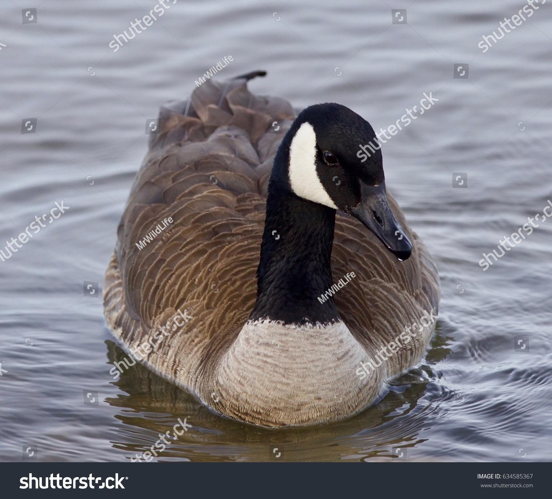 Beautiful background cute canada goose stock photo 634585367 beautiful background with a cute canada goose biocorpaavc Gallery