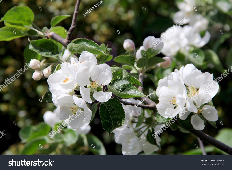 Apple Tree Big White Flower Photo Stock Photo (Royalty Free ...