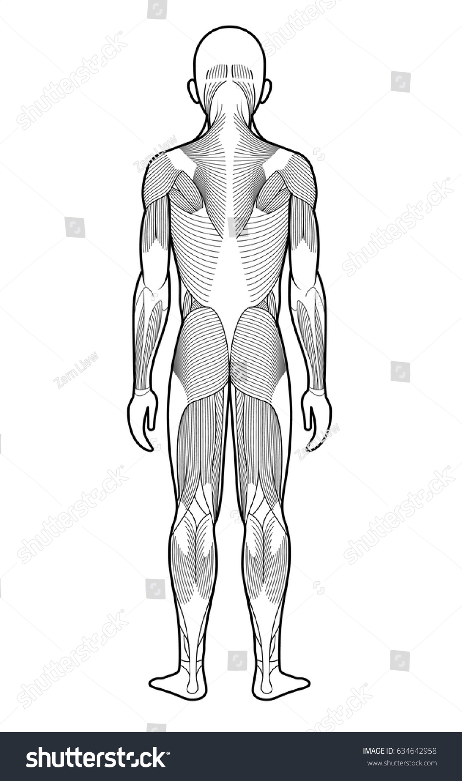 Stylized anatomy diagram showing major muscle stock vector 634642958 stylized anatomy diagram showing major muscle groups shown from the back posterior view ccuart Gallery