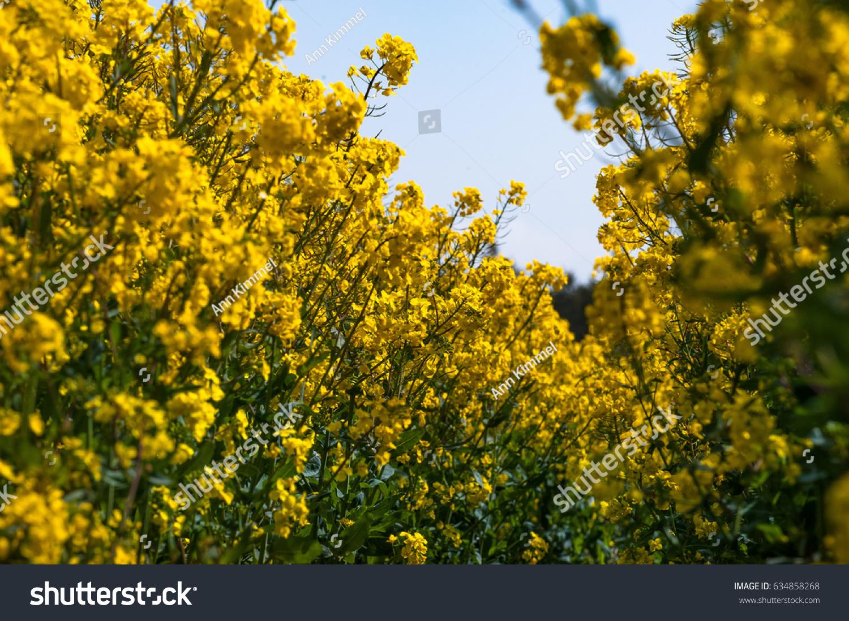 Stunning Yellow Blossom Rapeseed Field Scotland Stock Photo Edit