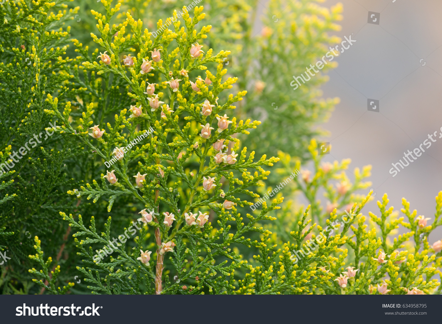 Bright yellow pink flowers pine trees stock photo royalty free bright yellow and pink flowers of pine trees in sunny day mightylinksfo