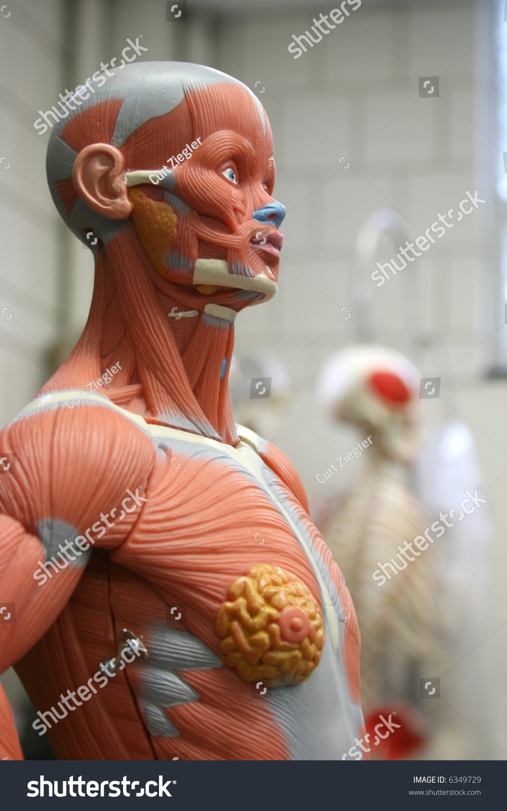 Awesome Human Anatomy Mannequin Photos Human Anatomy Images