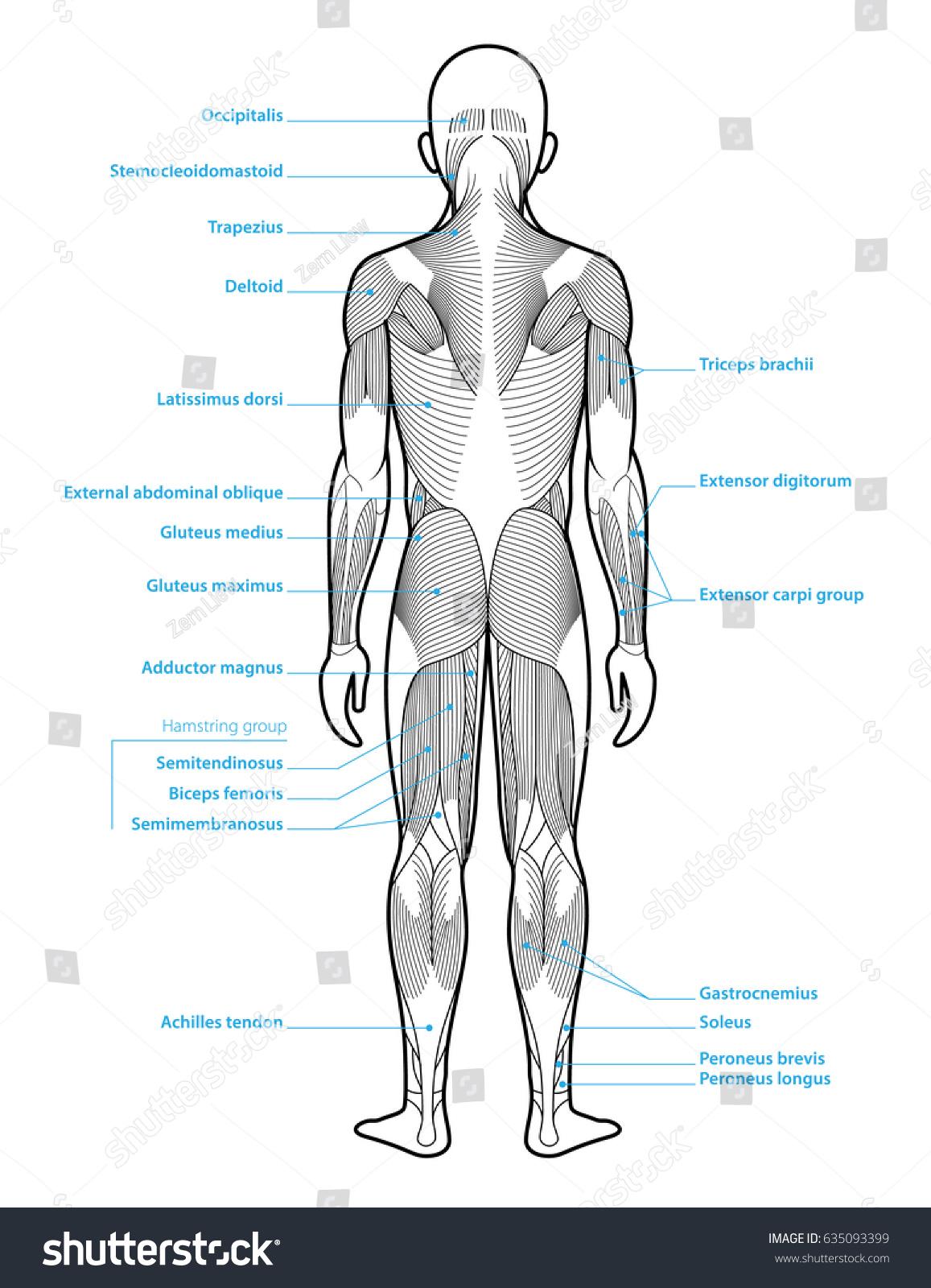 Stylized Anatomy Diagram Showing Major Muscle Stock Vektorgrafik