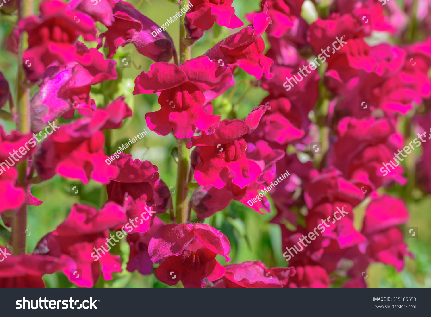 Flower of lily gallery flower wallpaper hd closeup colorful flowers lily lion antirrhinum stock photo 100 close up of colorful flowers of lily izmirmasajfo