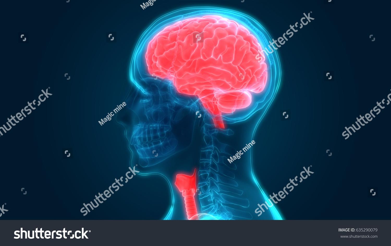 Human Brain Anatomy 3 D Stock Illustration 635290079 - Shutterstock