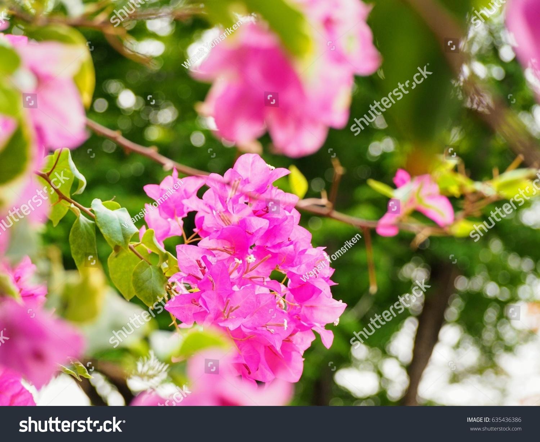 Bougainvillea paper flower bougainvillea hybrid stock photo royalty bougainvillea paper flower bougainvillea hybrid stock photo royalty free 635436386 shutterstock mightylinksfo