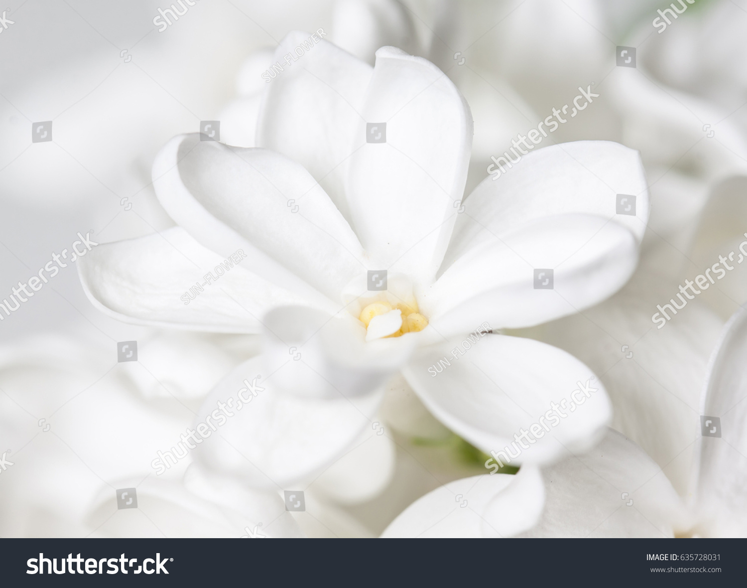 White Lilac Flower Wallpaper Stock Photo Safe To Use 635728031