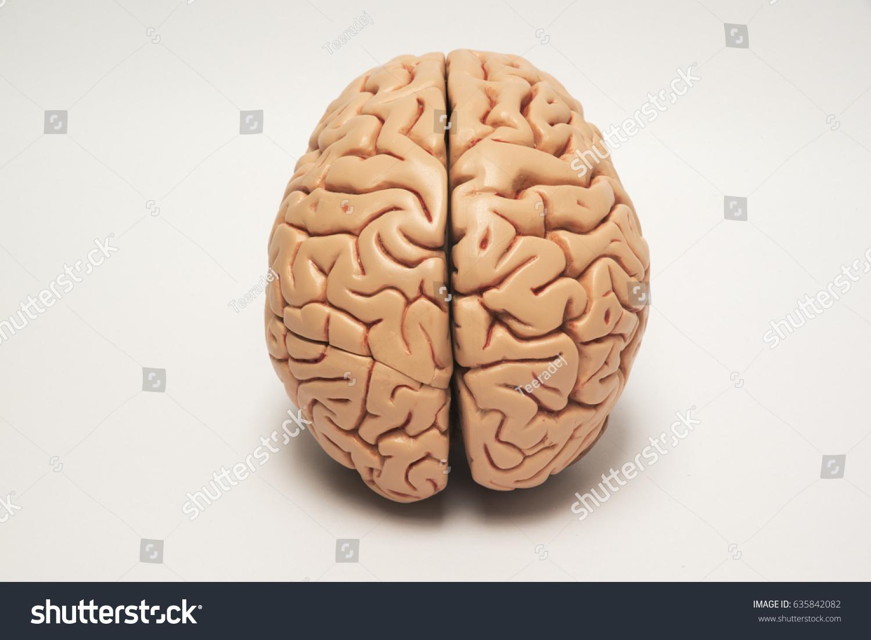 Artificial Human Brain Model Stock Photo (Edit Now) 635842082 ...