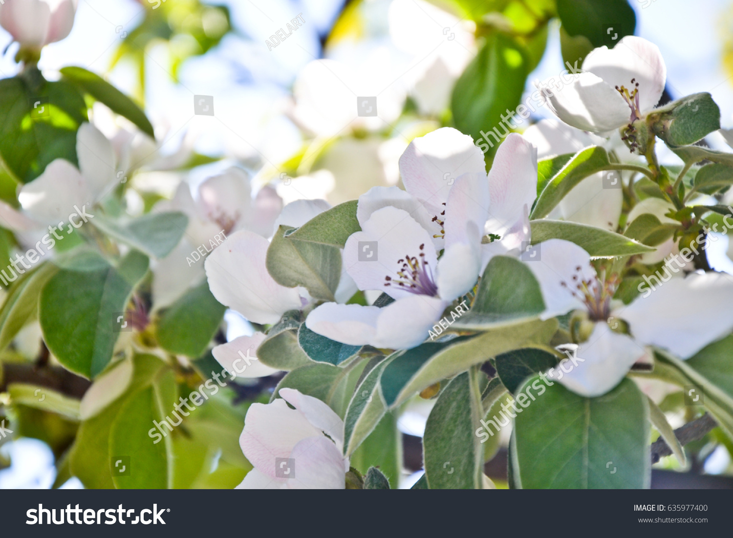 Quince blossom cydonia oblonga flowers spring stock photo quince blossom cydonia oblonga flowers spring fruit blossoming fruit tree march april biocorpaavc Image collections