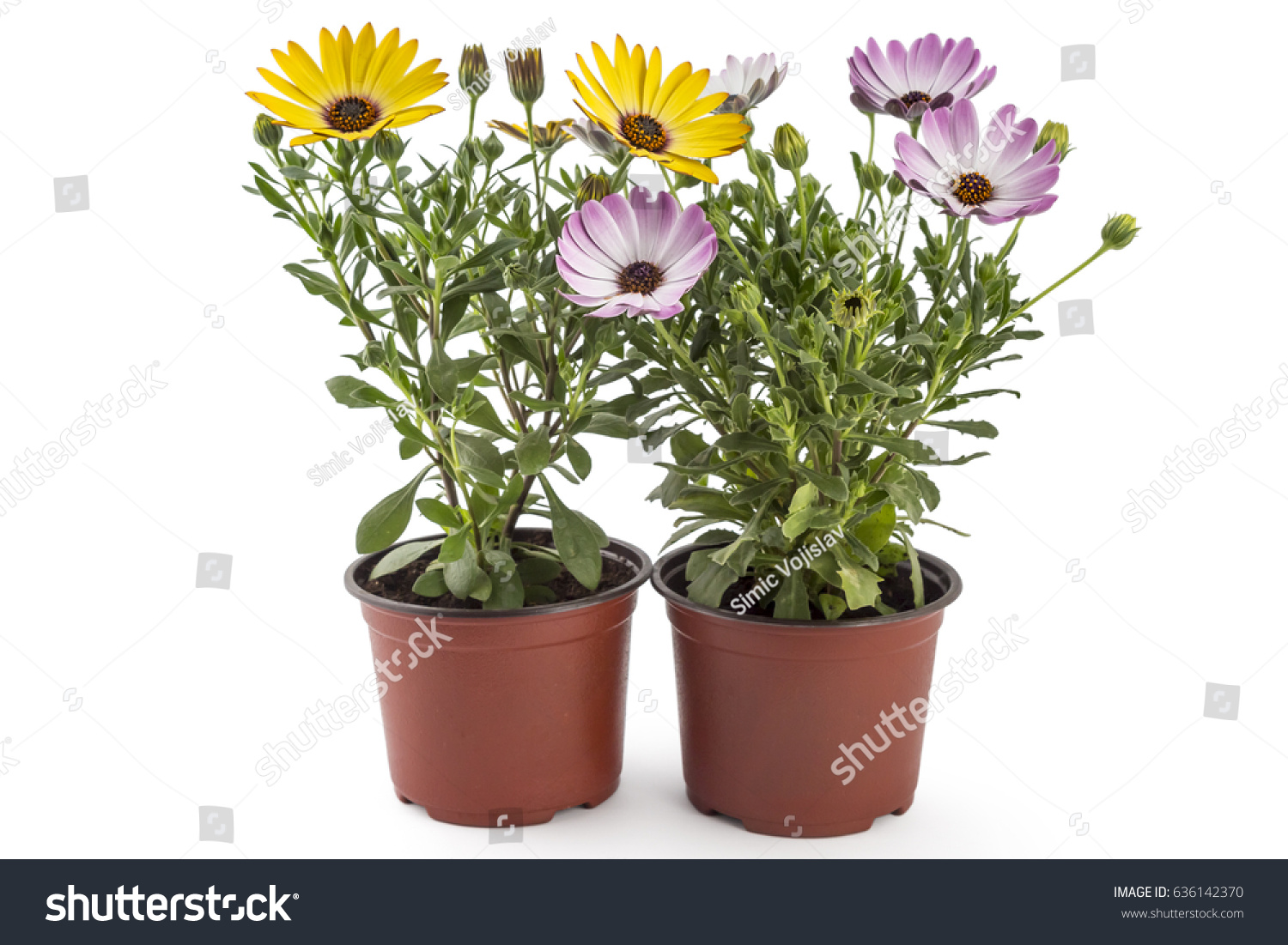 Orange and light pink young garden african daisy flowers with leaves id 636142370 izmirmasajfo