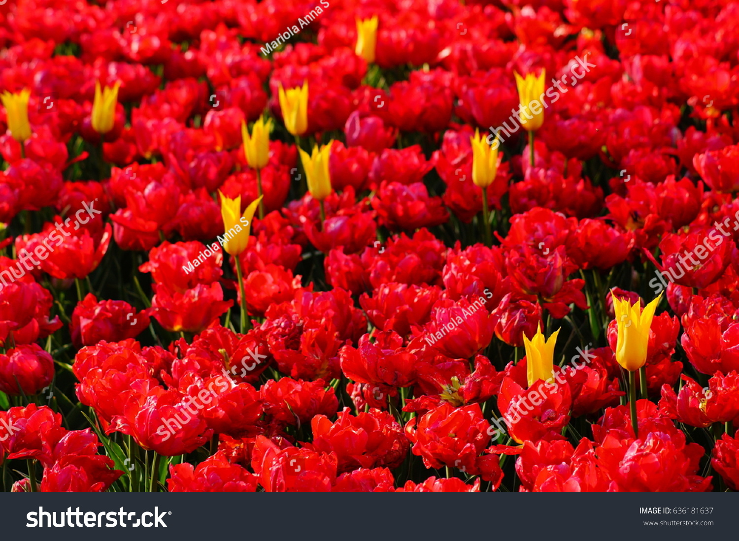 Beautiful Tulips Colorful Fragrant Spring Flowers Stock Photo