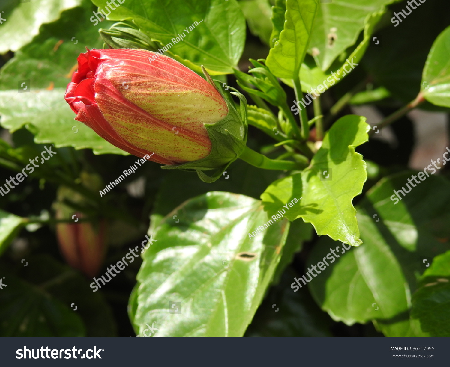 Hibiscus Flower Bud Early Stags Full Stock Photo Royalty Free