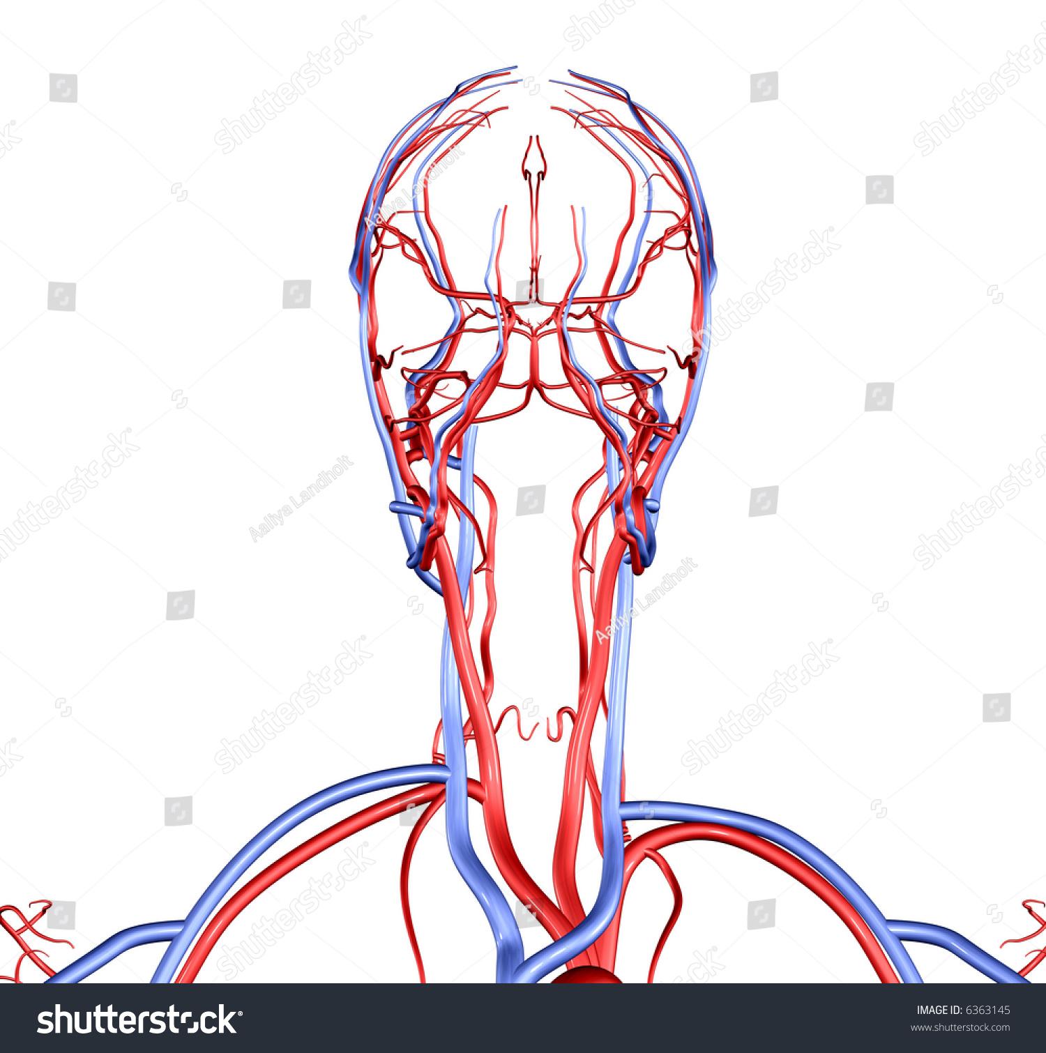 Head Neck Brain Vessels Stock Photo Edit Now 6363145 Shutterstock
