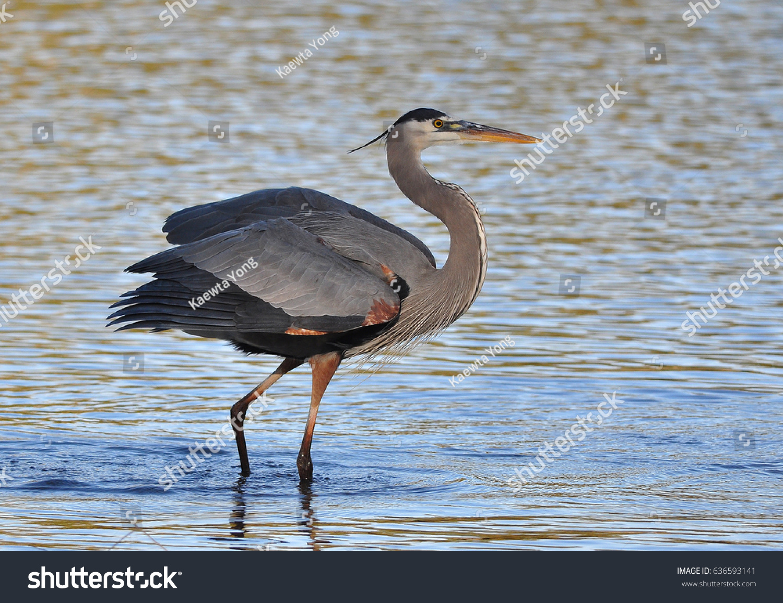 Great Blue Heron Walking Stock Photo Edit Now 636593141 Shutterstock