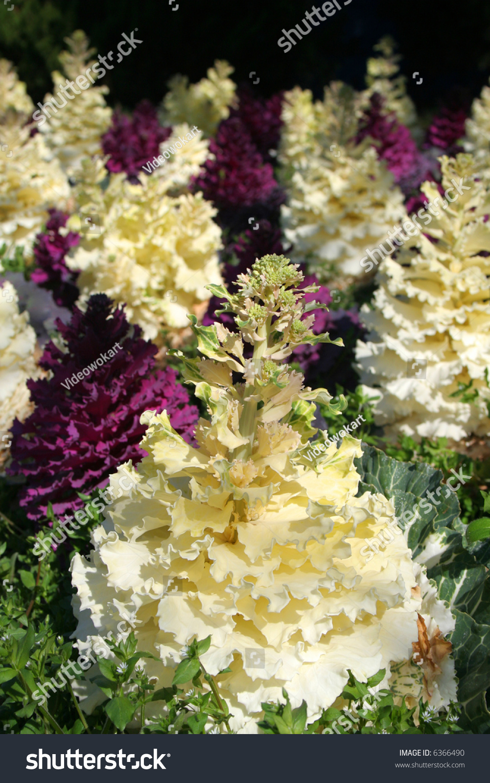 Close White Cabbage Flower Stock Photo Edit Now 6366490 Shutterstock