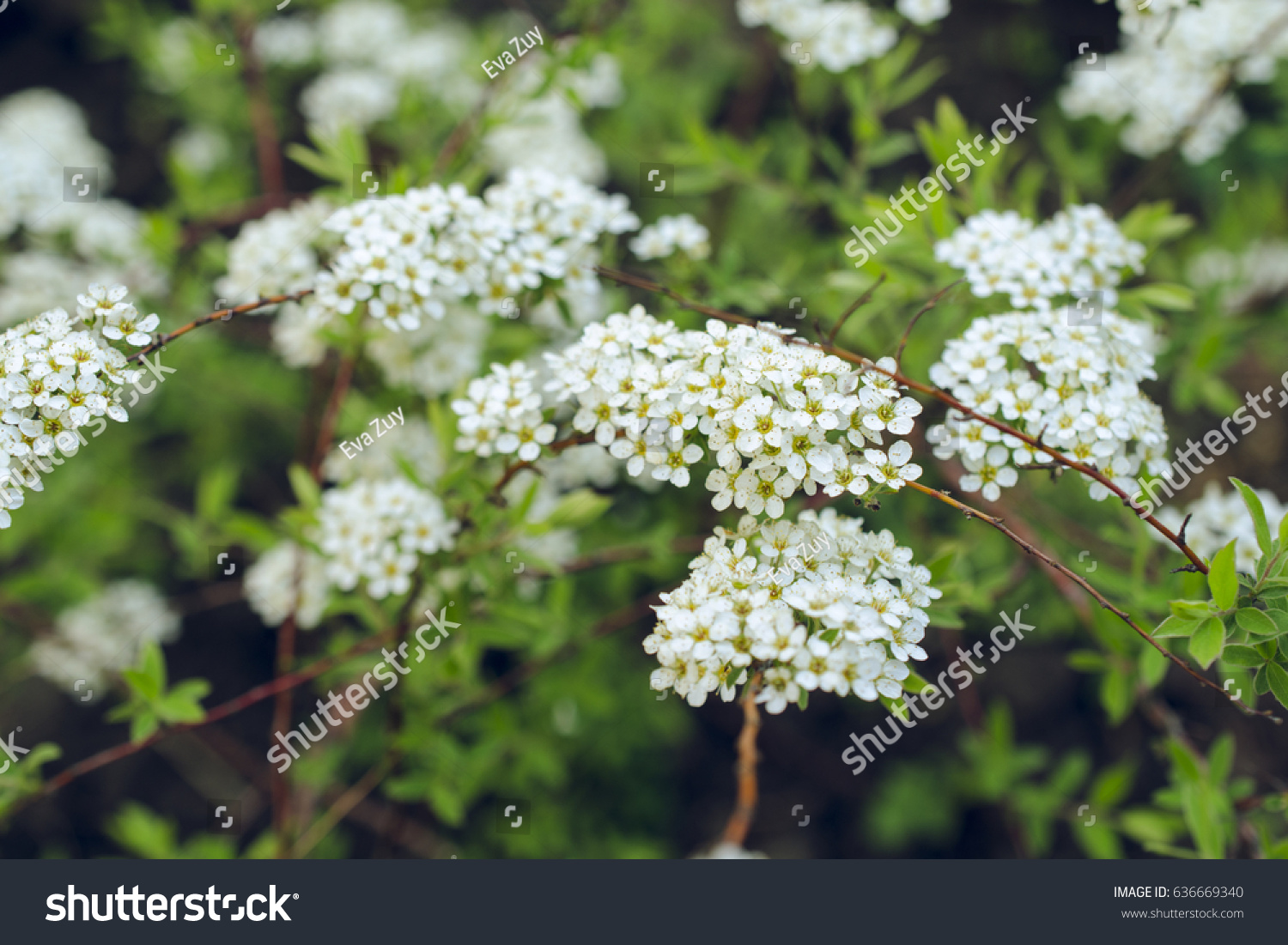 Small White Spring Flowers Stock Photo Edit Now 636669340