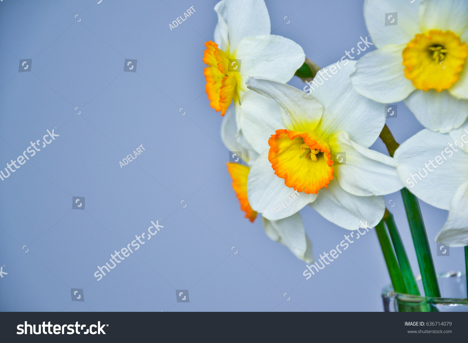 Daffodil Narcissus Spring Flowers White Yellow Stock Photo Royalty