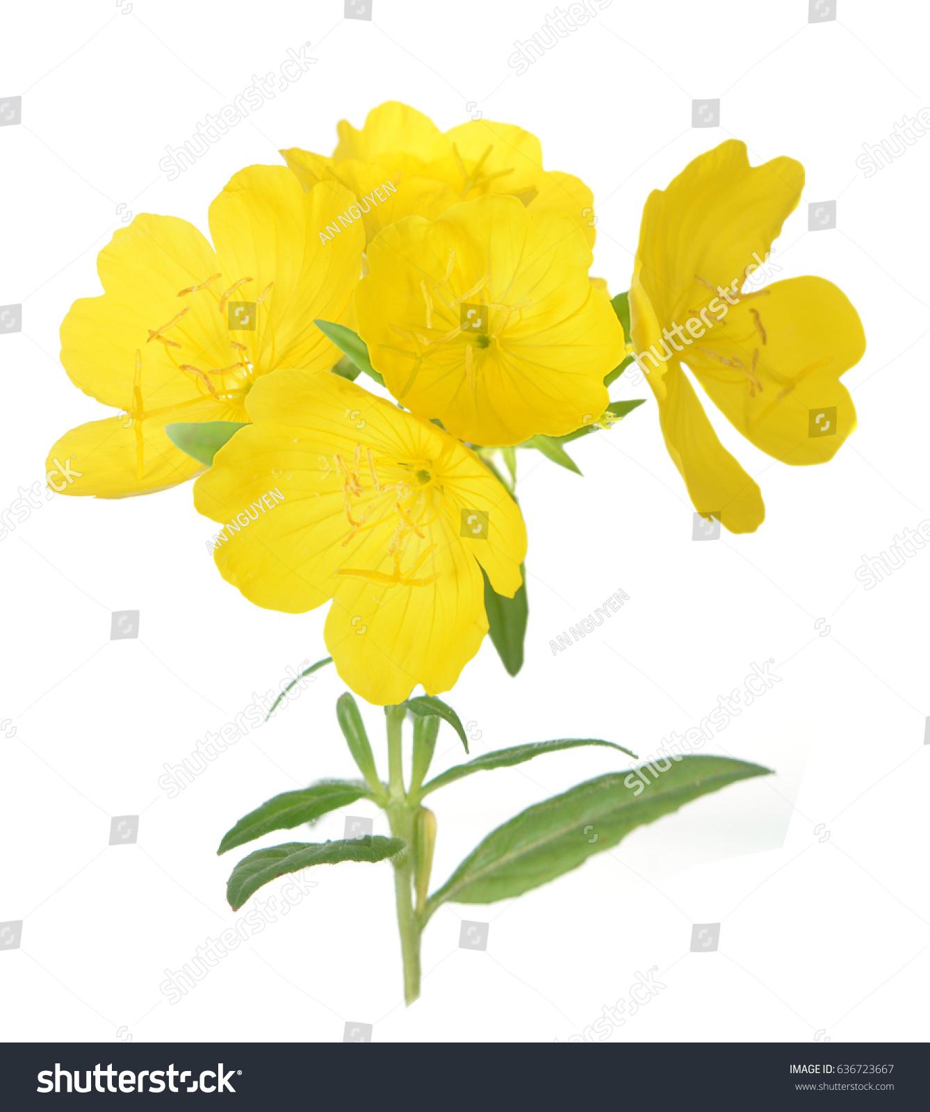 Yellow Primrose Oenothera Frutcosa Flower Isolated On White Ez Canvas