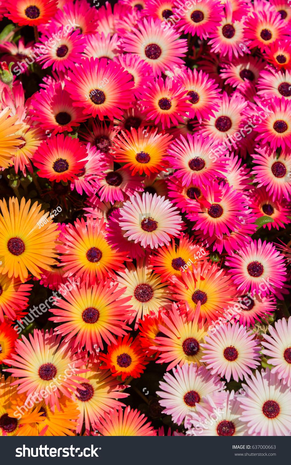 Colorful flowers of livingstone daisy in a garden in yokohama japan id 637000663 izmirmasajfo
