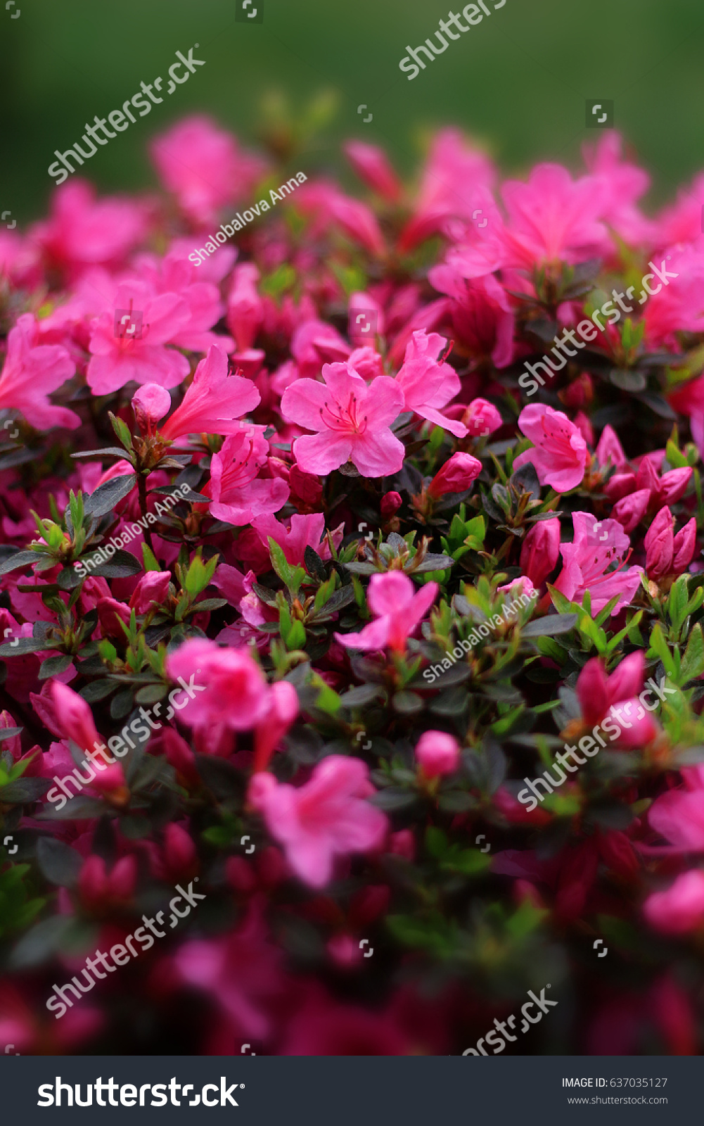 Small Pink Flowers Blooming On Shallow Stock Photo Edit Now