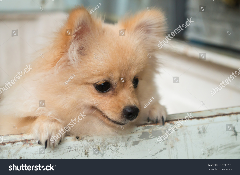 Portrait Lovely Brown Pomeranian Dog Spitz Stock Photo Edit Now