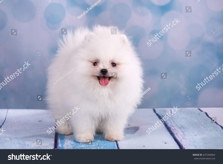 Cute white pomeranian puppies