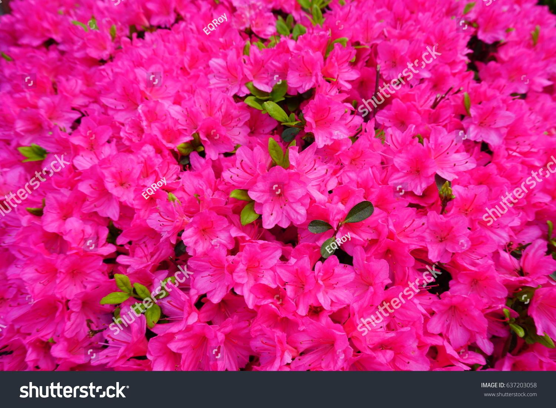 Rhododendron Ez Canvas