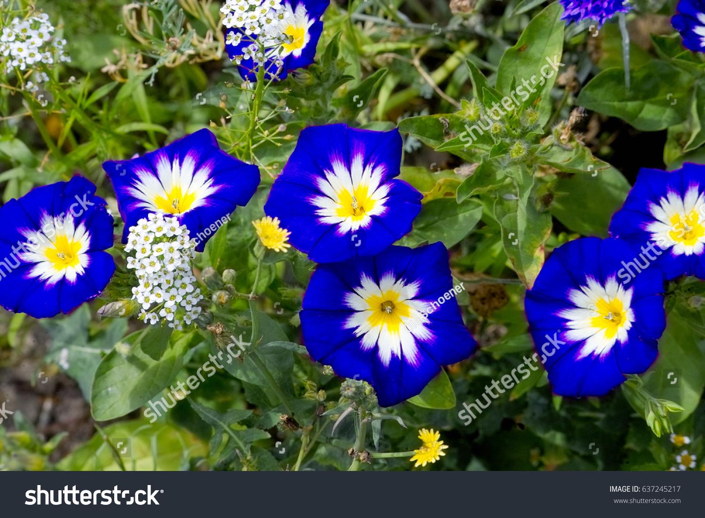 Intensive blue flowers white centre creeping stock photo royalty intensive blue flowers with white centre creeping dwarf morning glory convolvulus tricolor izmirmasajfo Images