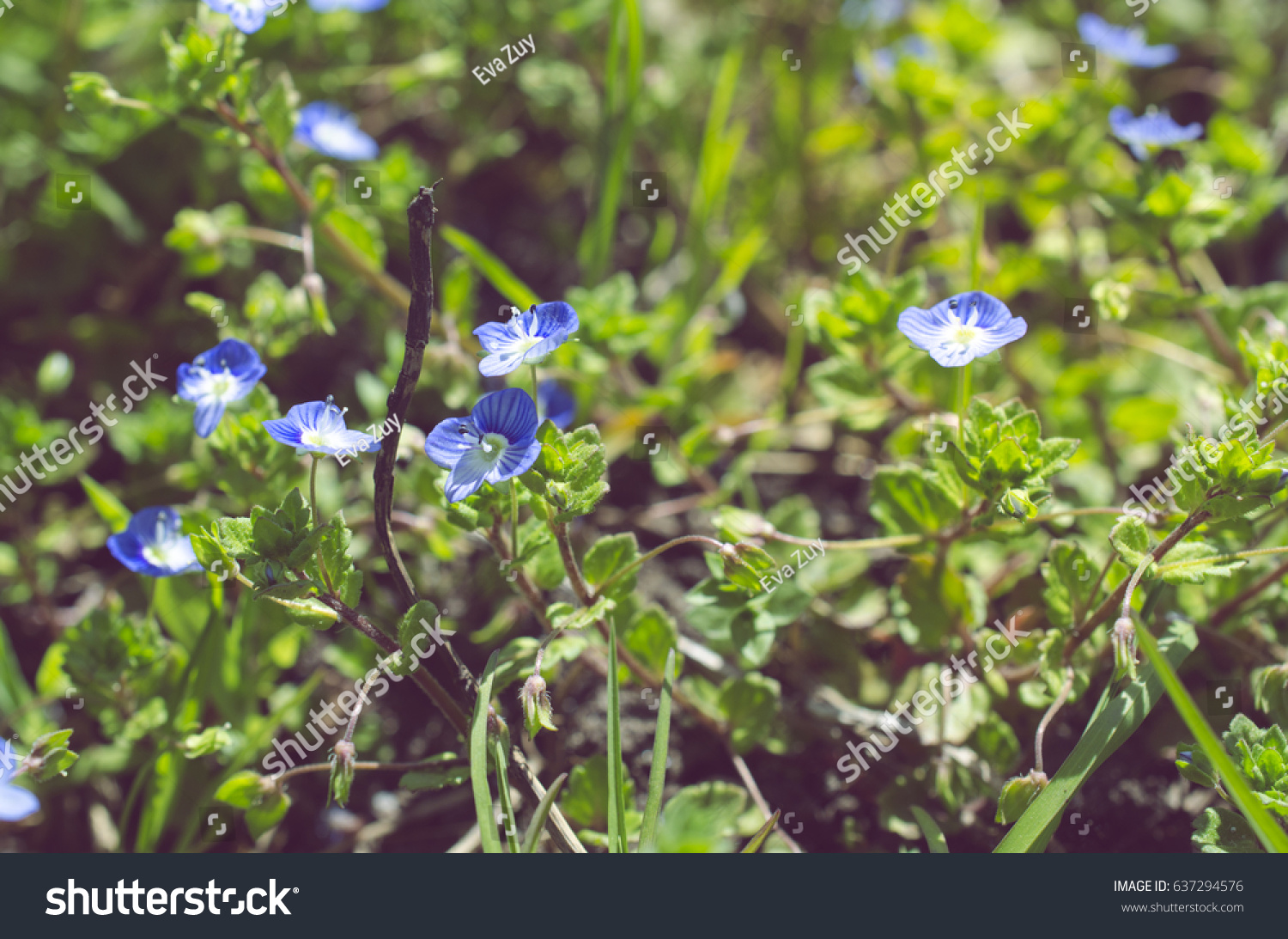 Royalty Free Small Blue Spring Flowers On A 637294576 Stock Photo