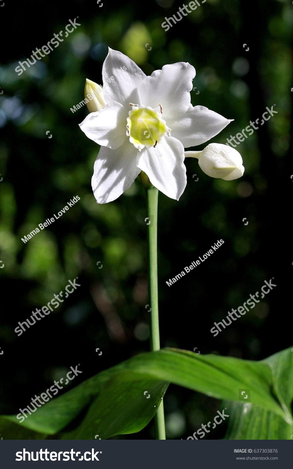 Amazon Lily Eucharis Lilywhite Flower Green Stock Photo Edit Now