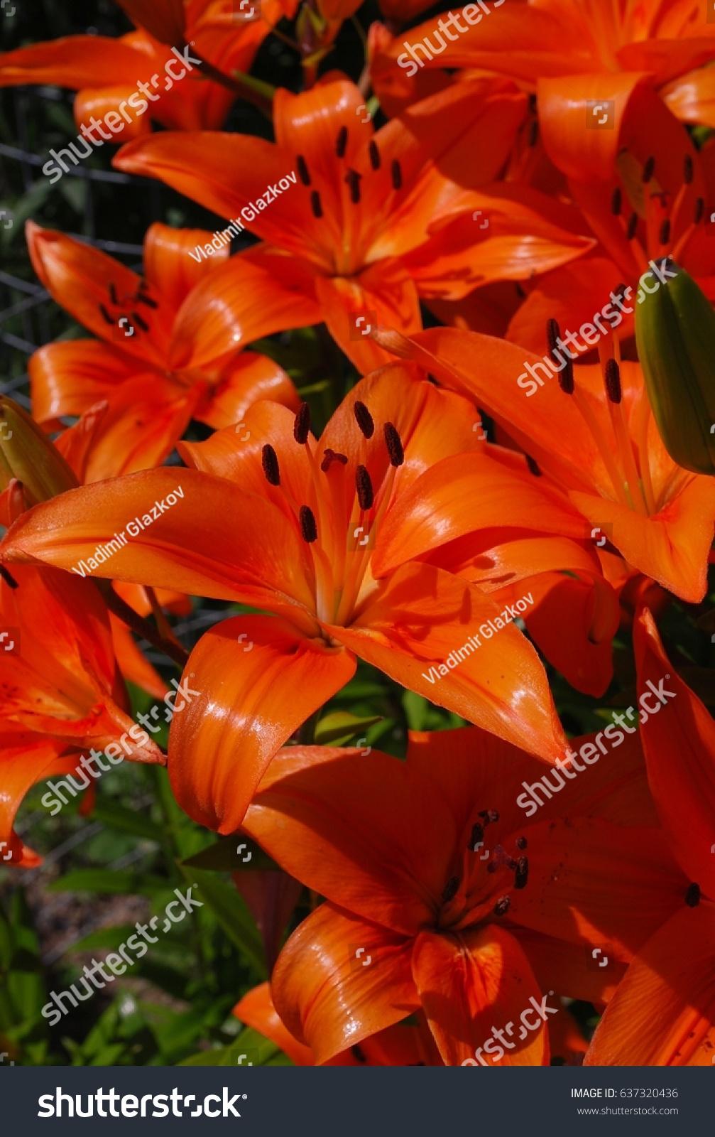 Tiger lily flower taken closeup ez canvas izmirmasajfo