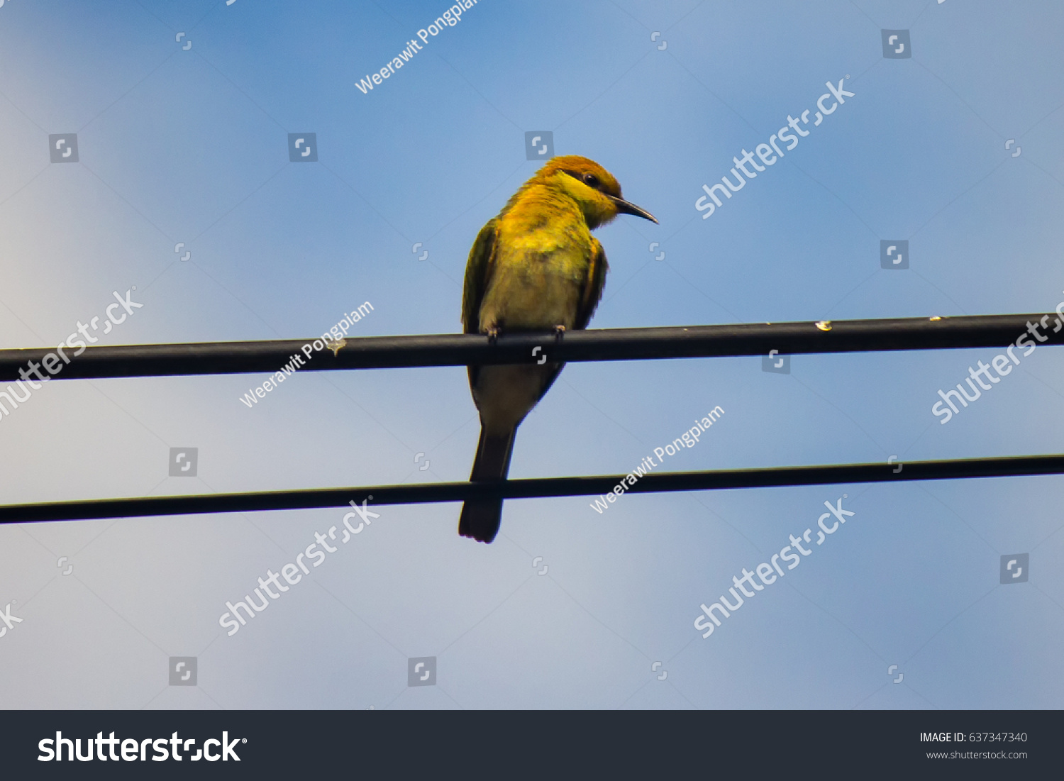 Green Bee Eater On Wire Blue Stock Photo (Edit Now) 637347340 ...