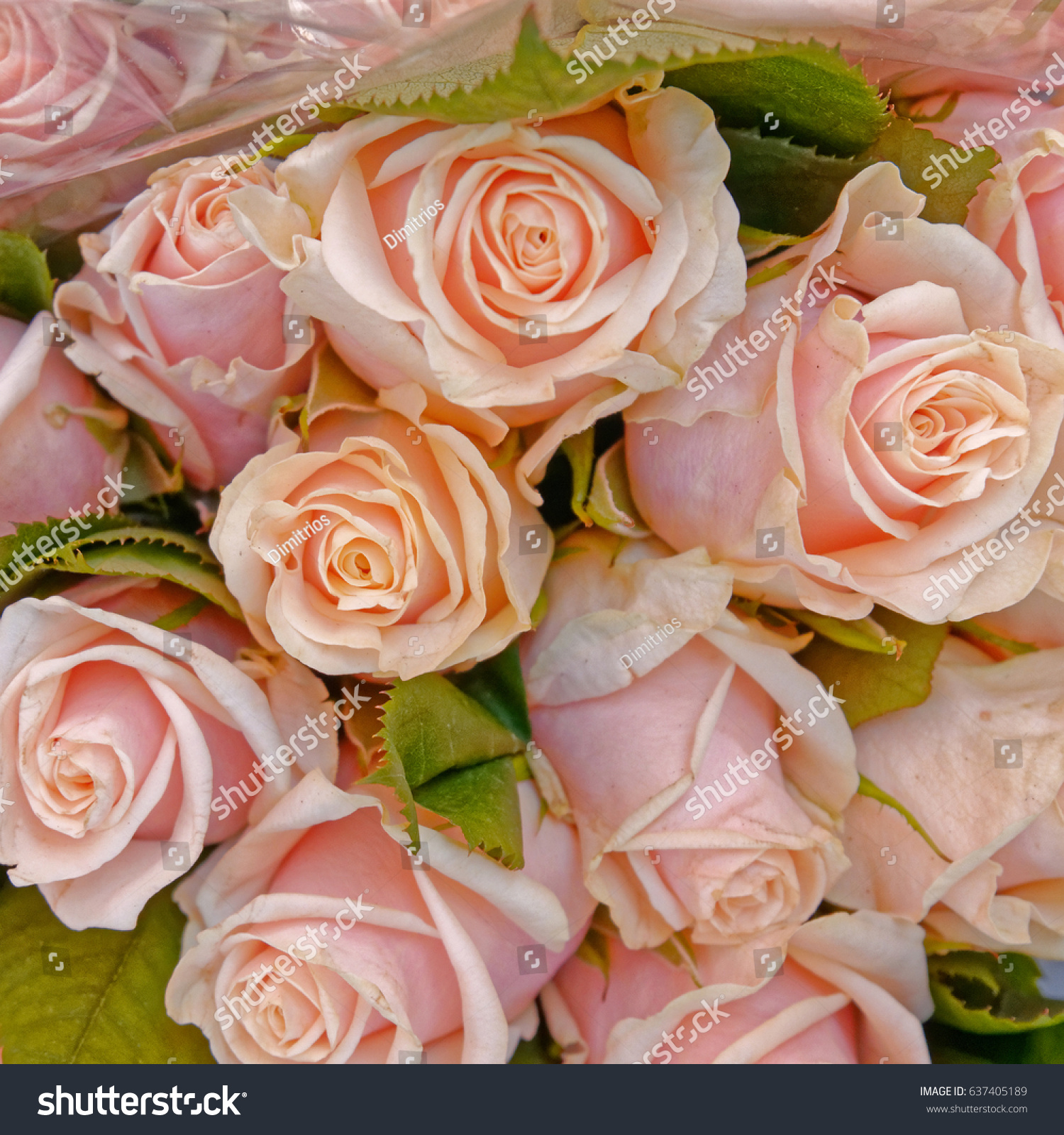 Colorful Pale Pink Roses Floral Background Stock Photo Edit Now