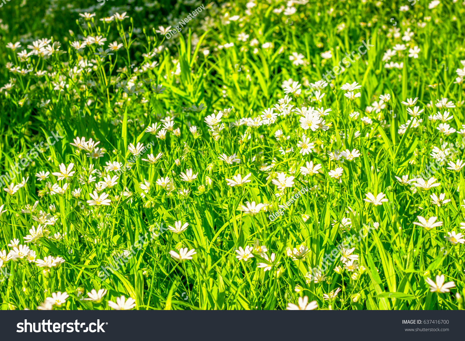 Beautiful Forest Background White Flowers Yellow Stock Photo Edit