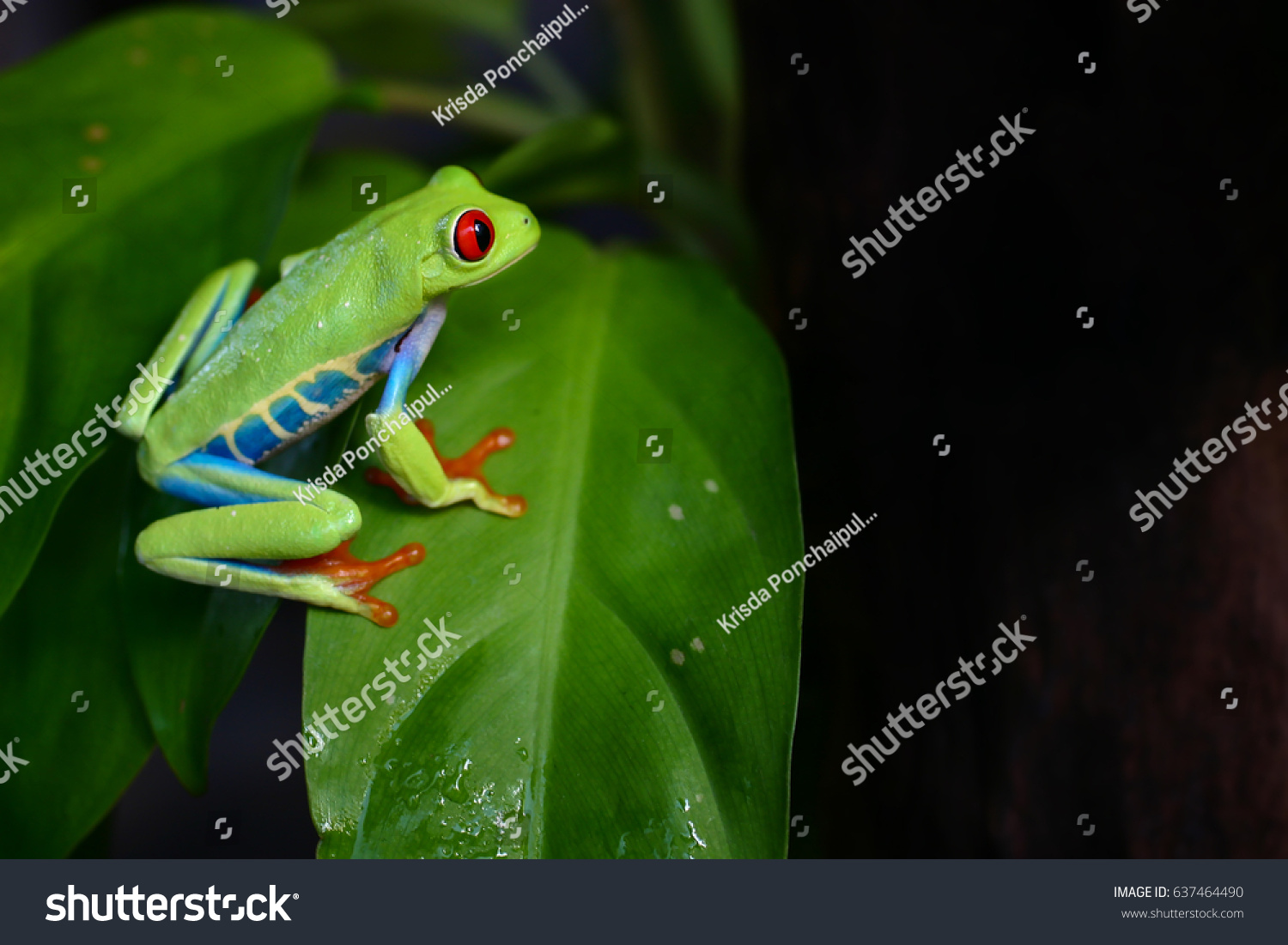 Colorful Amazon Amphibian Red Eyes Green Stock Photo (Royalty Free ...