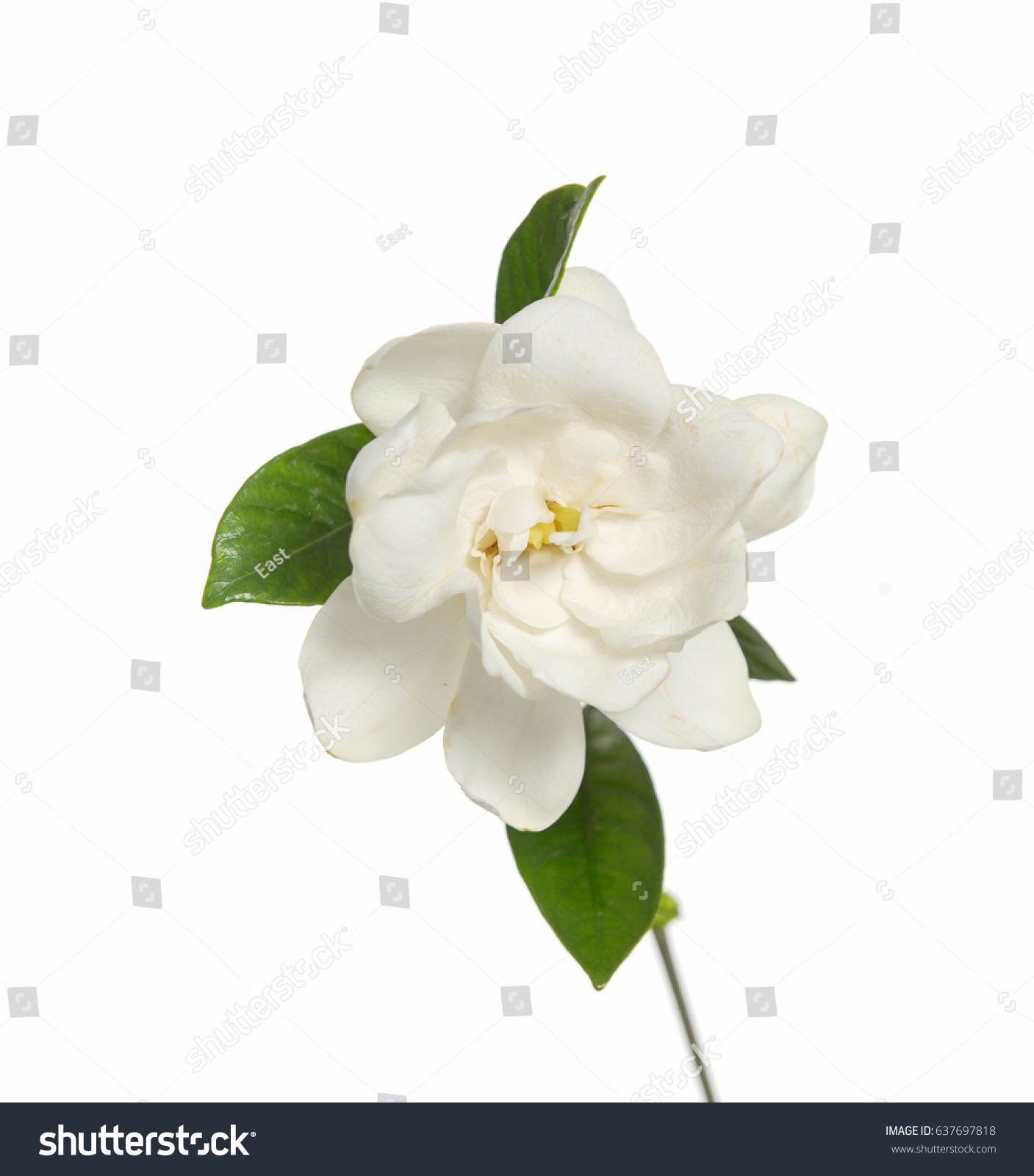 Gardenia Jasminoides Cape Jasmine Flower Stock Photo Edit Now
