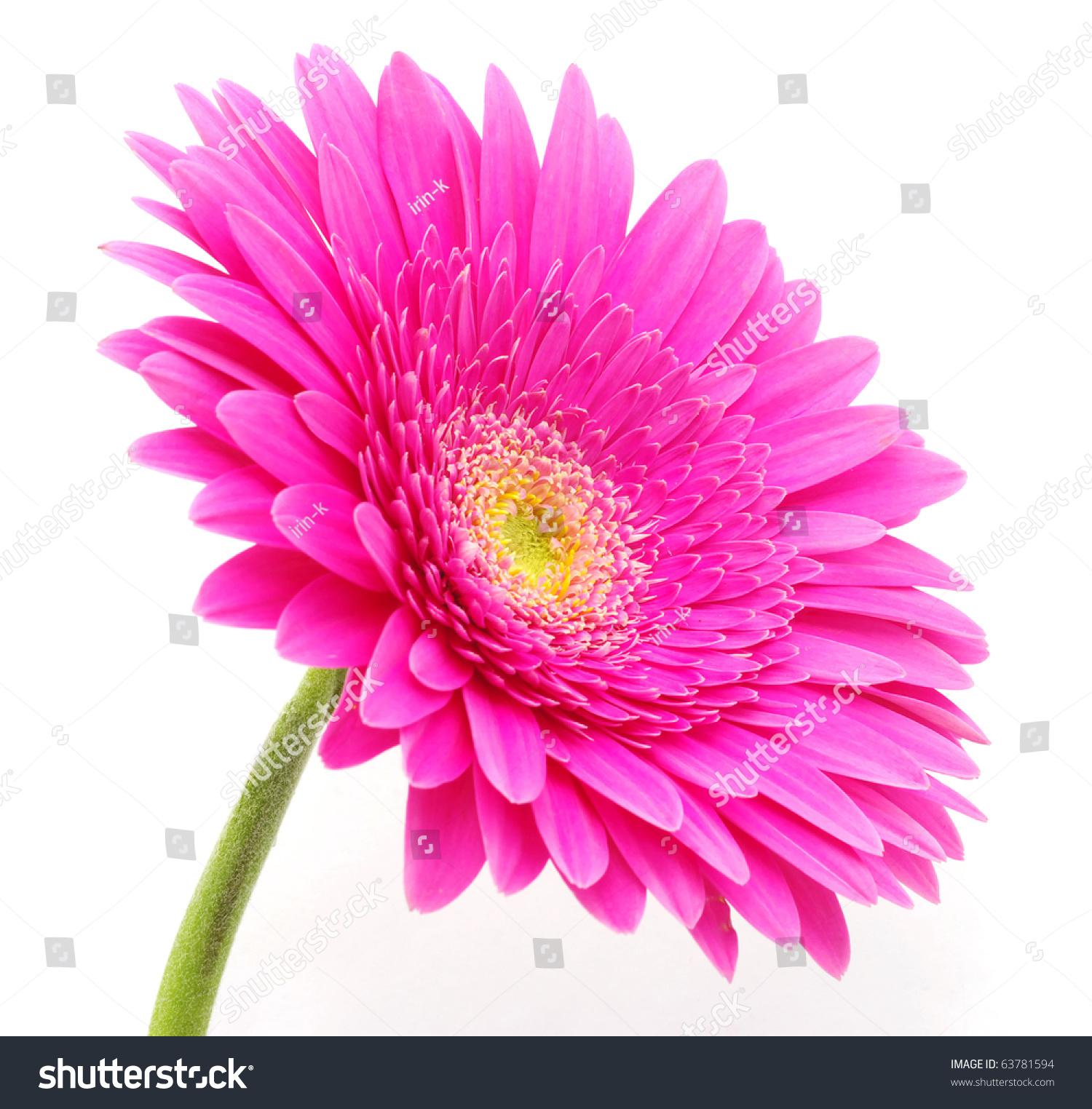 Gerbera Flower Stock Shutterstock