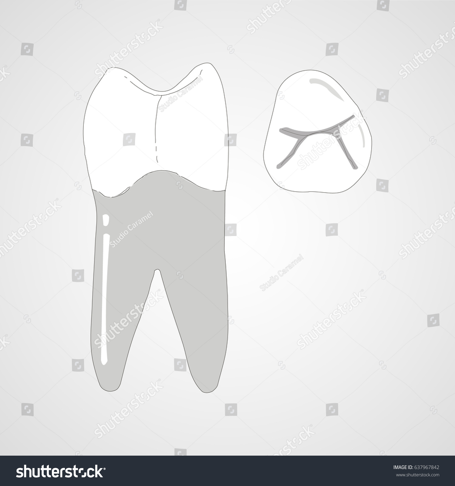 Canine Tooth Anatomy Treatment Stock Vector Royalty Free 637967842