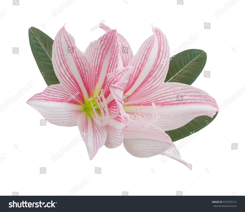 Pink Amaryllis Flower Bouquet Isolated Ez Canvas
