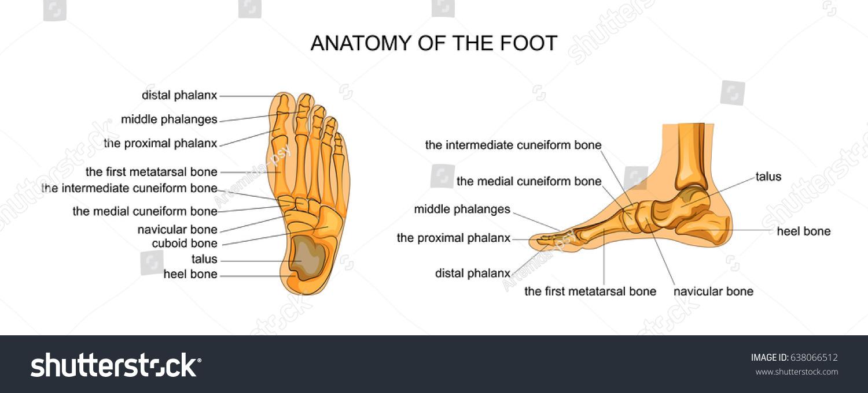 Vector Illustration Anatomy Skeleton Foot Stock Vector Royalty Free