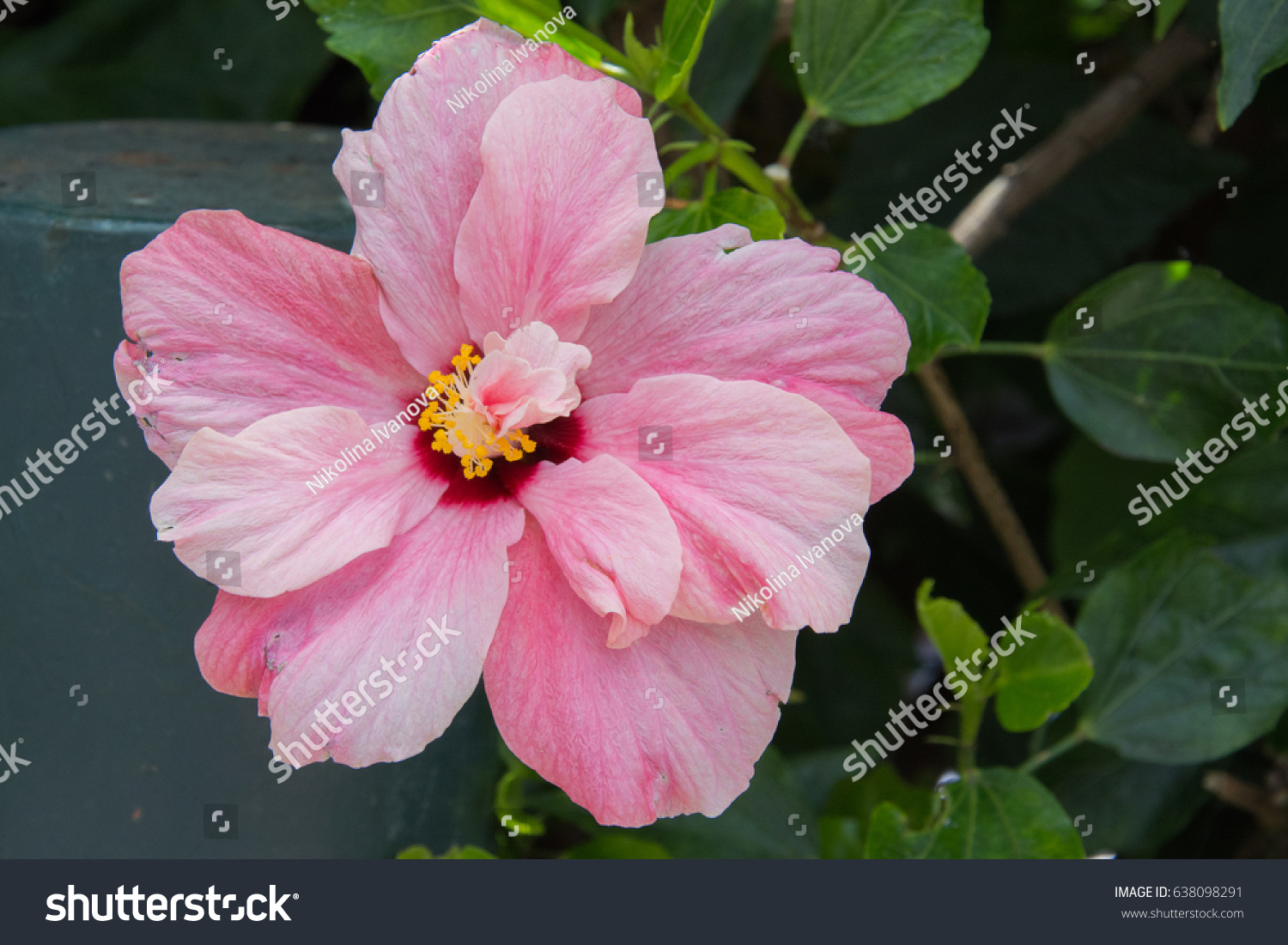 Chinese rose pink traditional summer flower stock photo royalty traditional summer flower in madeira island izmirmasajfo