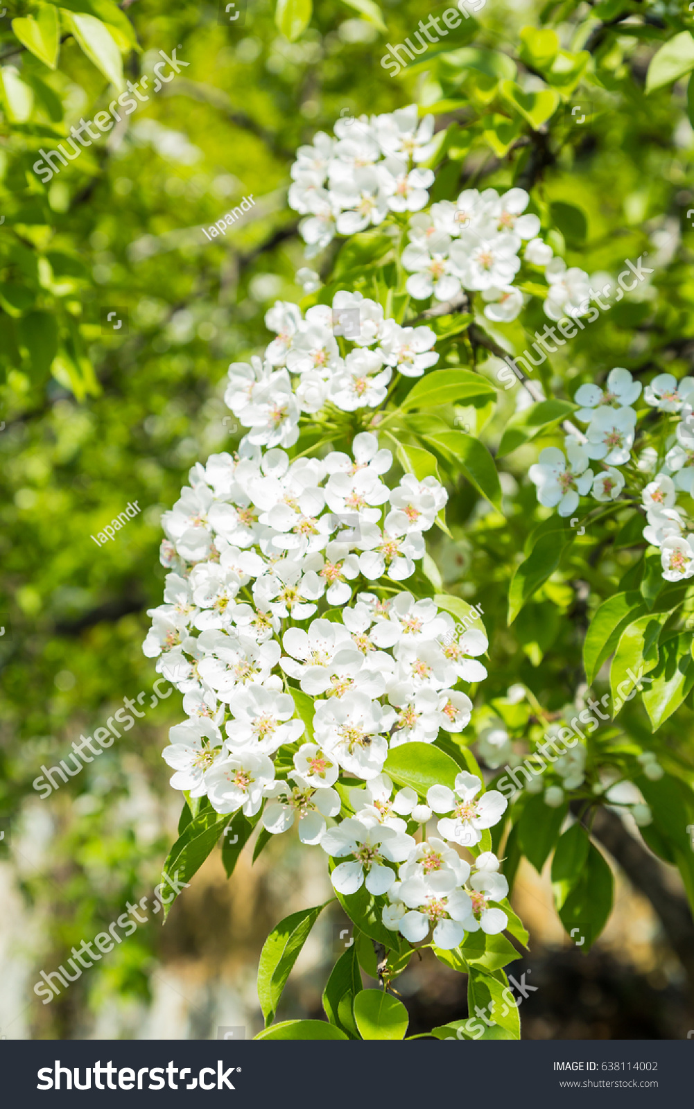 Flowering pear tree white flowers green stock photo download now flowering pear tree white flowers and green leaves on the branches fruit garden in mightylinksfo